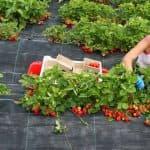 как сажать клубнику семенами в домашних условиях
