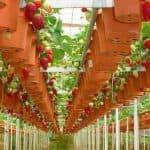выращивание и уход круглогодично ремонтантной клубники