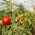 вырастить рассаду помидор из семян