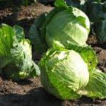 как вырасти хороший урожай капусты