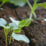 как поливать капусту борной кислотой