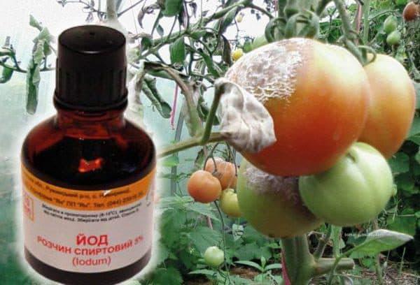 обработка помидоров от фитофторы йодом