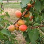 описание сорта сливы абрикосовая