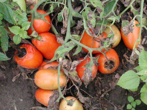 альтернариоз на помидорах