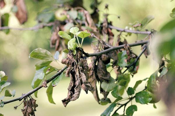 чернеют листья и плоды груши