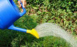 полив грядки моркови