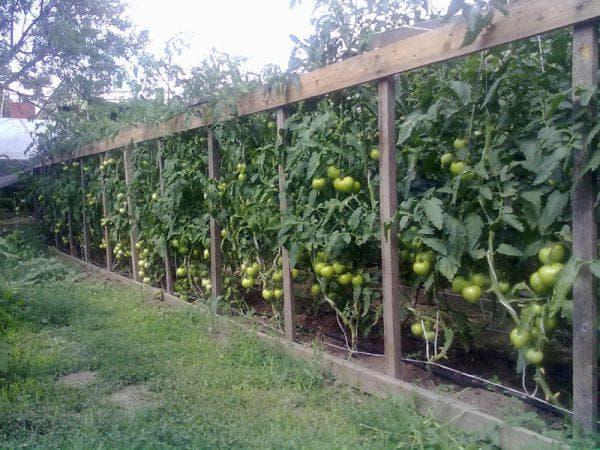 Подставки для помидоров в теплице
