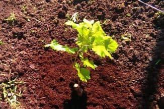 как посадить виноград летом саженцами