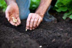 как посадить тыкву в открытый грунт семенами