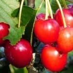 сорт вишни молодежная