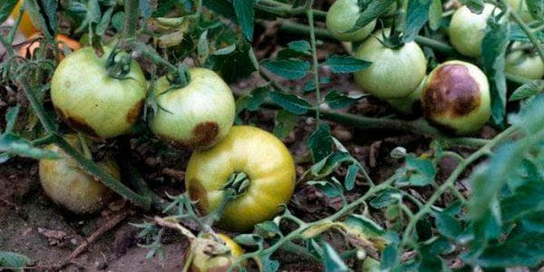 фитоплазмоз помидора