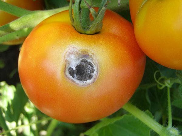 белая гниль на томатах