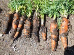 профилактика заболевания моркови