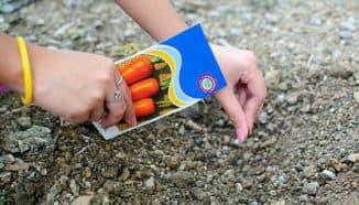 как посадить морковь в открытый грунт семенами