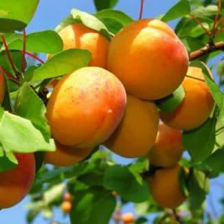 сорт абрикоса десертный