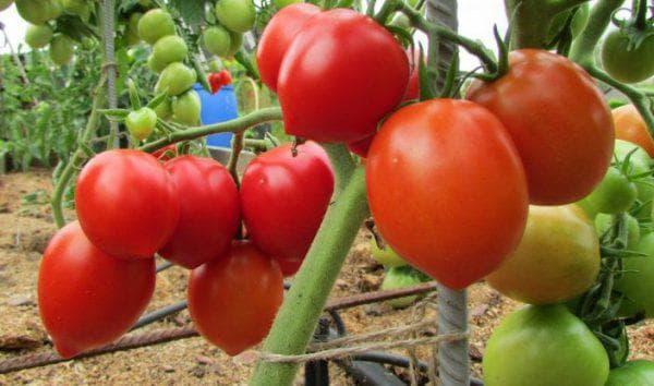 помидор Буденовка