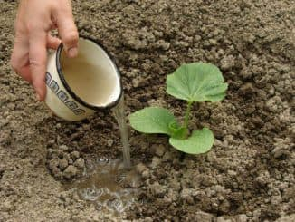 как вырастить тыкву в открытом грунте семенами