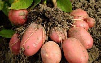 сорт картофеля беллароза характеристика