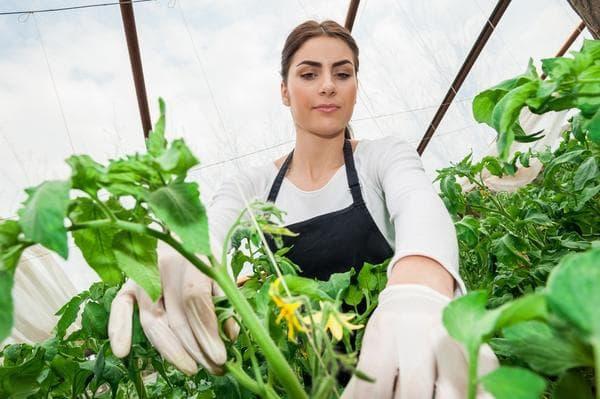 Чем опрыскать помидоры для завязи: лучшие химические и народные средства, основные правила обработки