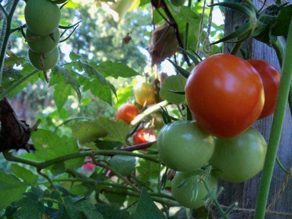 Хороший урожай помидор в открытом грунте