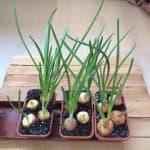 как получить хороший урожай лука