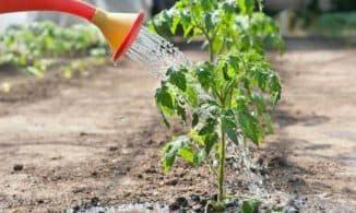 чем опрыскать рассаду помидор