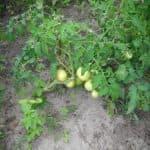 как удобрять помидоры золой