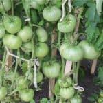полив помидор сывороткой и йодом