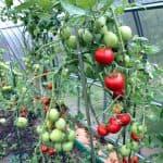 как поливать и подкармливать помидоры в теплице