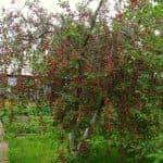 описание вишни Брусницына