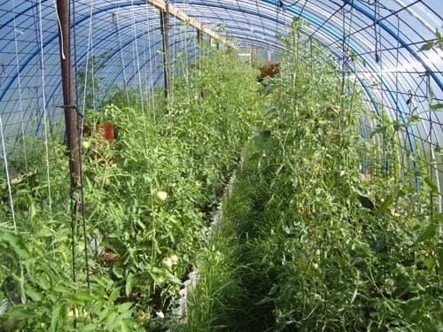 подвязка помидор с шпалерной фиксацией