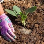сроки посадки цветной капусты