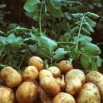 как выглядит фитофтора на картофеле