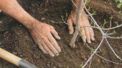подготовка почвы для черешни ревна