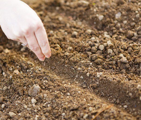 Семена капусты в грунт