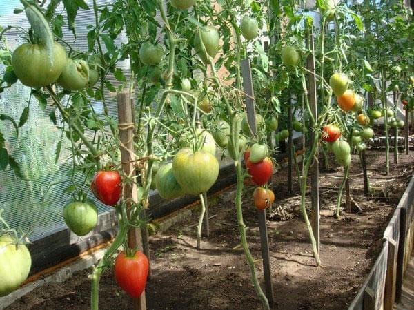 индивидуальные опоры для подвязки помидор в теплице