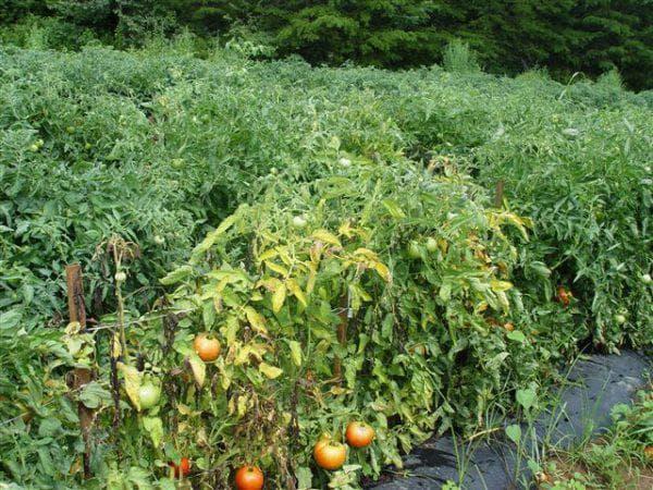 фузариоз помидор