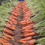 Как можно вырастить хороший урожай моркови