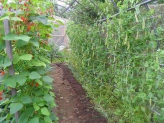 семена гороха лучшие сорта для открытого грунта
