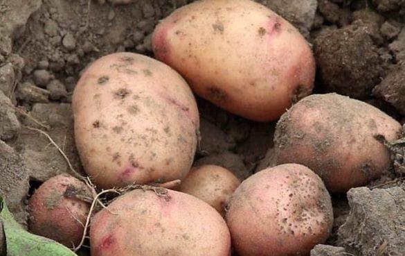 сорт картофеля жуковский
