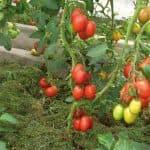рейтинг ранних томатов для открытого грунта