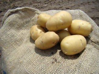 жуковский сорт картофеля характеристика