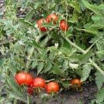 Как бороться с фитофторой на помидорах: список народных средств