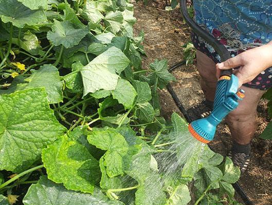 полив огурцов в открытом грунте