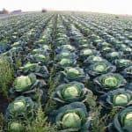 Поздний сорт капусты Леннокс: характеристика, описание