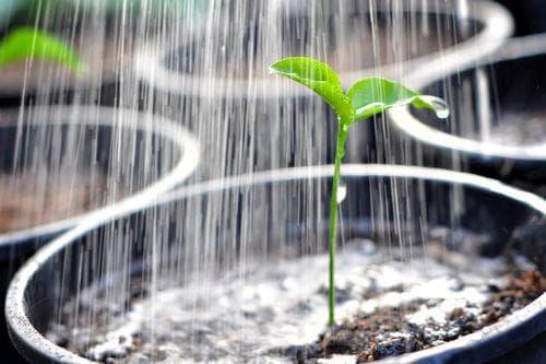 полив рассады тёплой водой