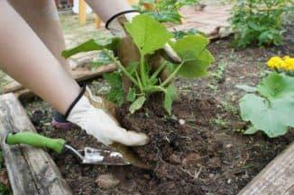как садить тыкву в открытый грунт рассадой