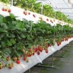 выращивание ремонтантной земляники