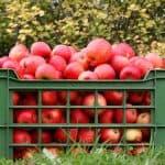 скороплодные сорта яблонь для Урала