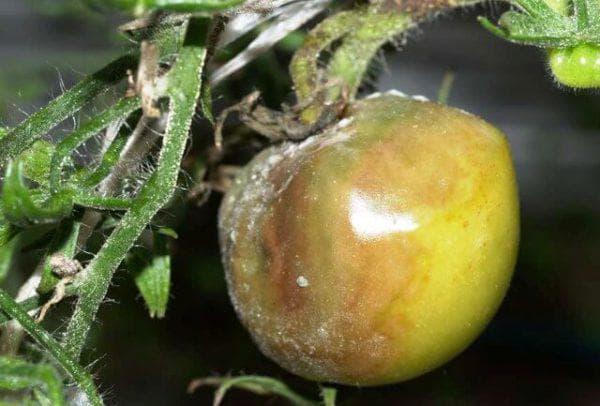 стеблевая гниль на помидорах